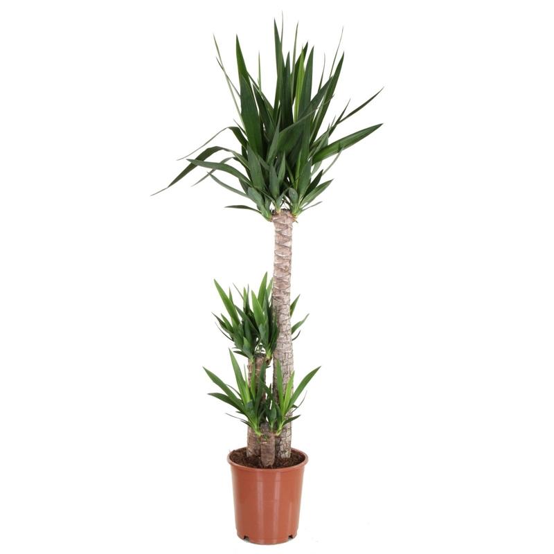 Yucca Houseplant- 24cm 10p @ Homebase