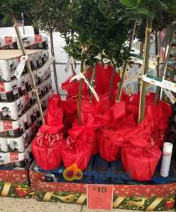 Bay Trees £10 each @ Morrisons instore (also Olive and Holly Trees)
