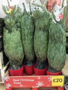 Potted Real Christmas Tree @ Tesco £20