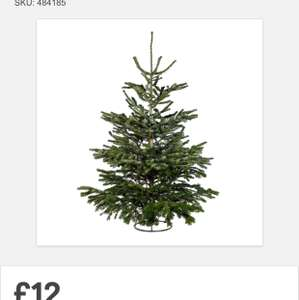 6ft REAL Christmas Trees only @ Homebase for £12