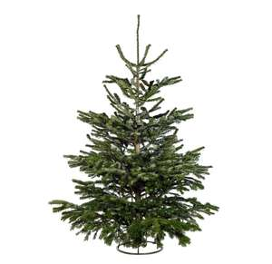 Real Nordman 6ft Christmas Tree at Homebase for £12