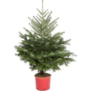 Nordmann Fir 3-4ft Real Potted Christmas Tree £11.99 @ JTF instore only
