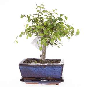 Elm Bonsai in 15cm ceramic planter - Half price at Amazon...only £12.99 Prime / £17.74 Non Prime