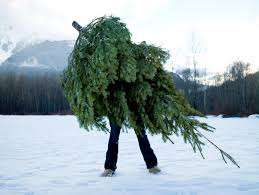 Fresh cut real Christmas trees 25% off £9  B&Q Bolton; plus reduced to clear decorations! Poss nationwide