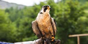 2-hour Birds of Prey Experience at Rutland Falconry and Owl Centre £15 via Travelzoo