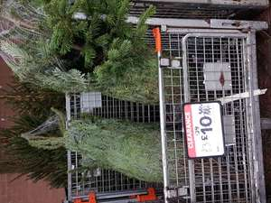 Real Christmas trees £3 at Bolton B&Q