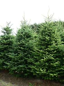 Real Christmas trees £1 B&Q Wigan