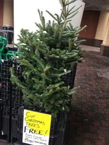 Free cut Christmas trees @ Homebase