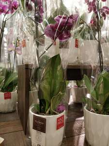 Half prices M&S Orchid (in store) £8
