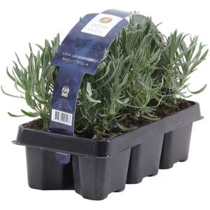 Lavender plant (pack of 6) reduced from £7.97 to 10p at Homebase