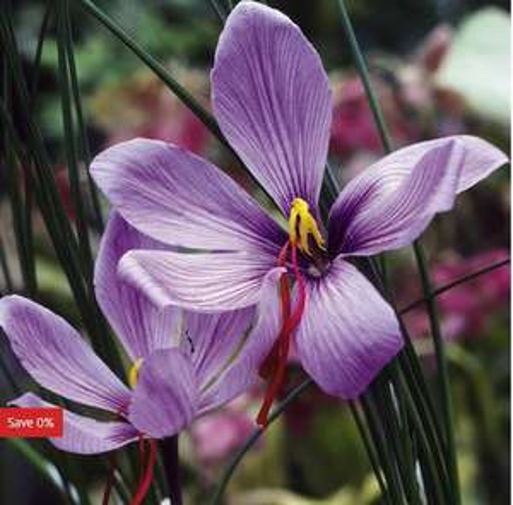 Saffron Crocus Bulbs half price £7.49 + £4.99 DEL - Suttons Seeds online