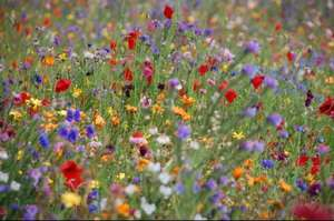 Free wildflower seeds - Buckinghamshire and Milton Keynes only