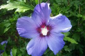 Hibiscus plant 35cm £1.99 @ B&M