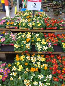 6 x pack Easy Grow Primrose / Polyanthus plants £2 @ B&Q Doncaster Lakeside