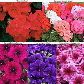 42 bedding plant plugs £5.65 Delivered @ Van Meuwen