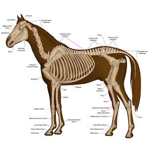 Horse Anatomy Diagrams : Equine Anatomy - free Android app (was £4.29)