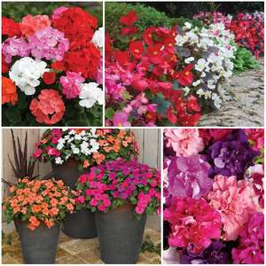 ORDER BY PHONE TO BEAT THE QUEUE! 170 Spring Plants just £9.99 with FREE delivery @ Jersey Plants Direct - choose from petunia, geranium, busy lizzie or begonia - get all 4 (680 plants) for £19.99