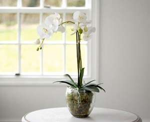 25% off Double Phalaenopsis or Triple Potted Orchid with Code @ Scotts of Stow