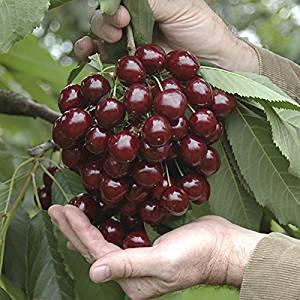 2x Stella Cherry Bare Root Fruit Trees (Pair) £17.99 (Prime) / £22.74 (non Prime) @ amazon.co.uk - lightning deal