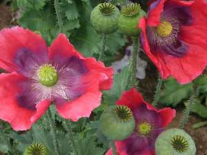 Papaver Somniferum, Florist Pod/ Giganteum Poppy 0.5g approx 1000 seeds £1.49 @ Amazon - Dispatched from and sold by Heirloom & Perennial Ltd