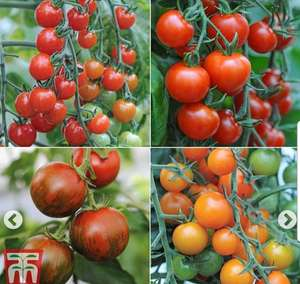 10 Tomato (postiplug)  plants for 99p plus £4.99 p+p @ Thompson & Morgan