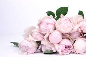 Free Peony Rose giveaway in Venus Flowers Manchester tomorrow (8th June - Only Manchester)