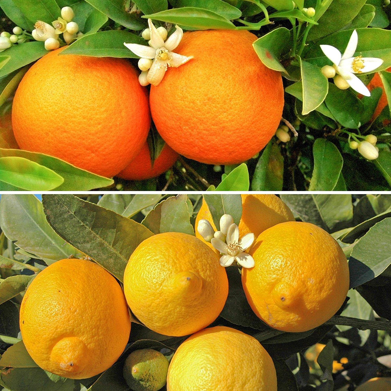 Citrus Trees, 1 Orange and 1 Lemon with 150 g Citrus Feed - £27.57 @ Amazon