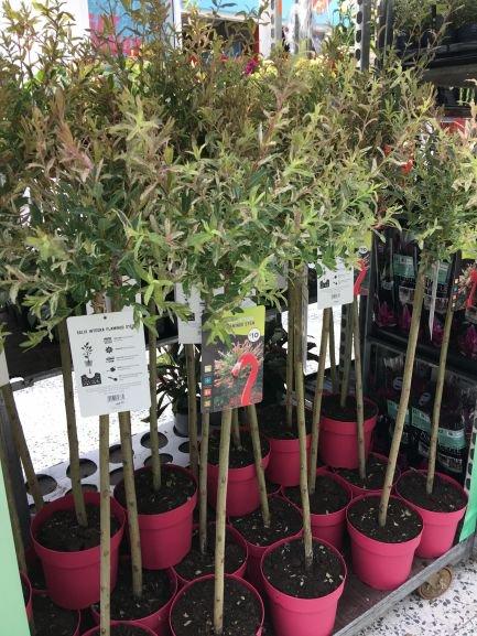 Salix Flamingo standard plants  for sale in Asda - £10 each