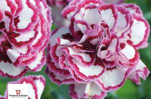 8 Cottage Garden Pinks and a pair of snips - only £5.00 delivered - O2 Priority