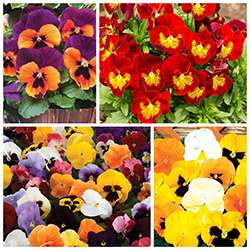 170 autumn plug plants for £9.99 and free delivery at Jersey Plants Direct
