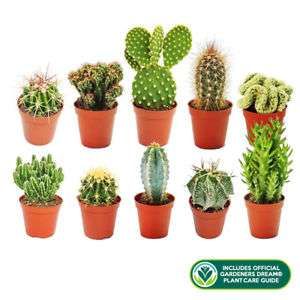 10 individual cactus plants in pots for £12.49 delivered @ eBay sold by gardenersdreamuk