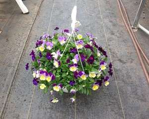 Cool Wave Pansy Hanging basket £1.99 instore @ Home Bargains