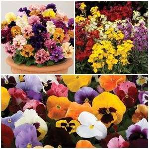 Lucky Dip 680 Autumn Plug Bedding Plants - £24.99 delivered @ Jersey Plants Direct