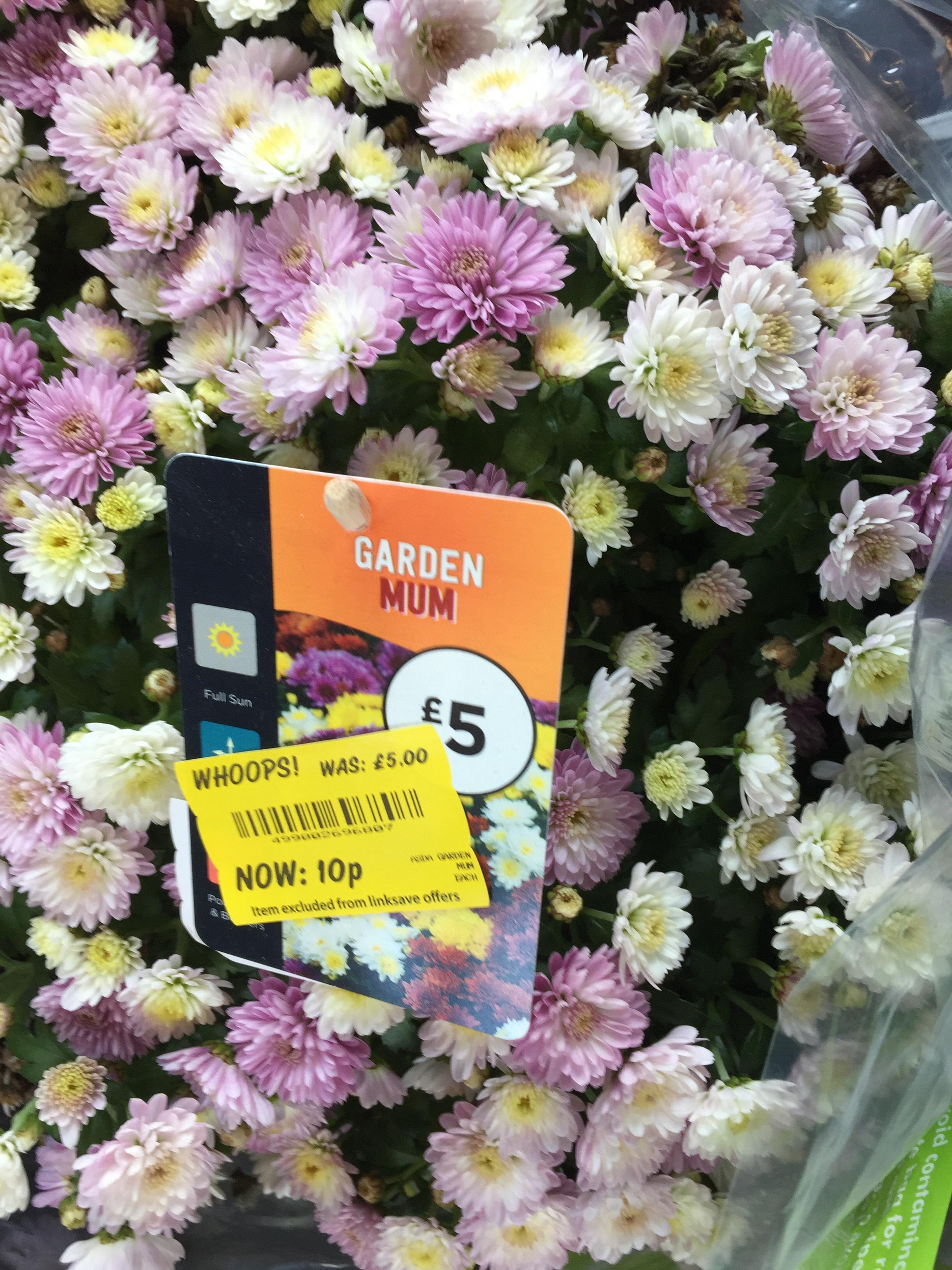 Garden mum plant 10p instore @ Asda Fulwood Preston