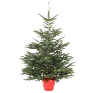 5 - 6ft Nordman For (low needle drop) Christmas Trees - £12 @ JTF (available in selected stores only)