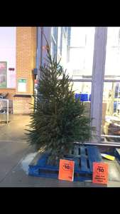 Homebase are selling all their real Christmas trees with £10 off in-store - £7 was cheapest for 6 ft tree