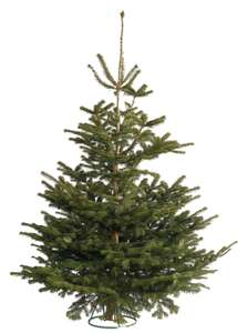 Nordman Fir Real Christmas Trees 6-7ft now only £10 @ Wickes (Free C&C)