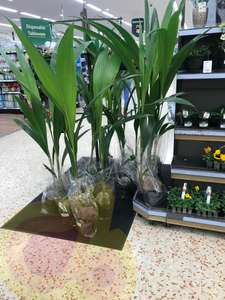 Tall coconut palm plant 5ft-6ft £7 Morrisons instore