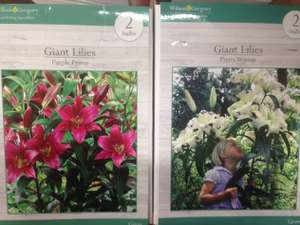 Giant flowering Lily Bulbs two in pack Purple Prince or Pretty Lady £1 - poundland