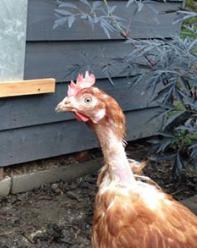 Rehome a hen for only £2.50 @ Freshstartforhens.co.uk