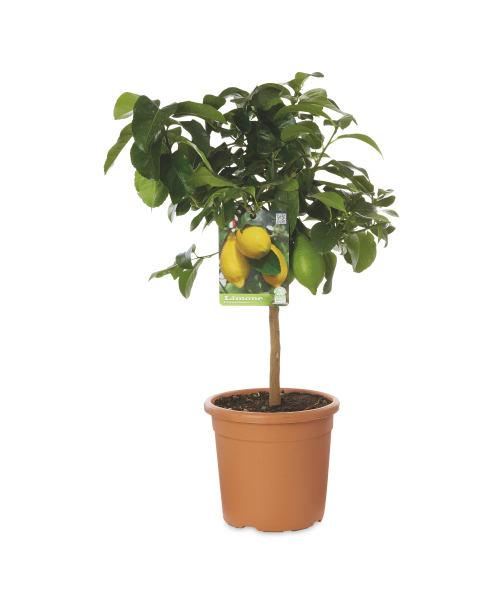 60 - 70cm citrus trees inc Lemon, Calamondin, Kumquat & Chinotto in 22cm pot £14.99 each from 28th February in store @ Aldi
