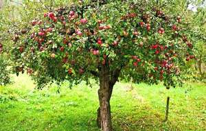 Fruit trees approx 5 feet high in B&M  £5 in store only