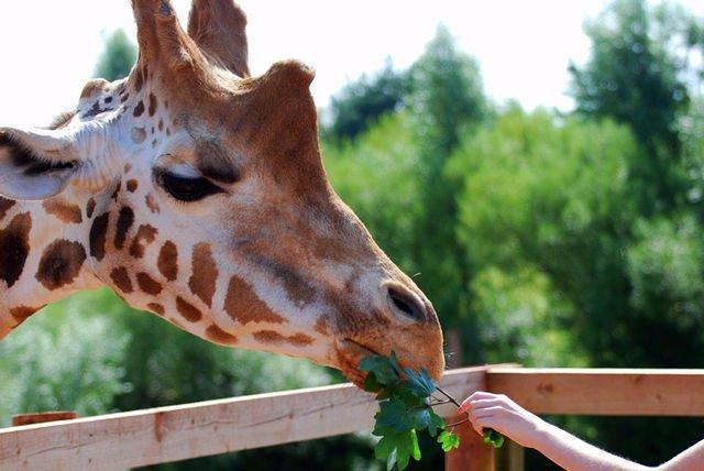 Giraffe Experience, Cuddly Toy & Gift Box @ Safari Zoo, Ulverston via Living Social £29
