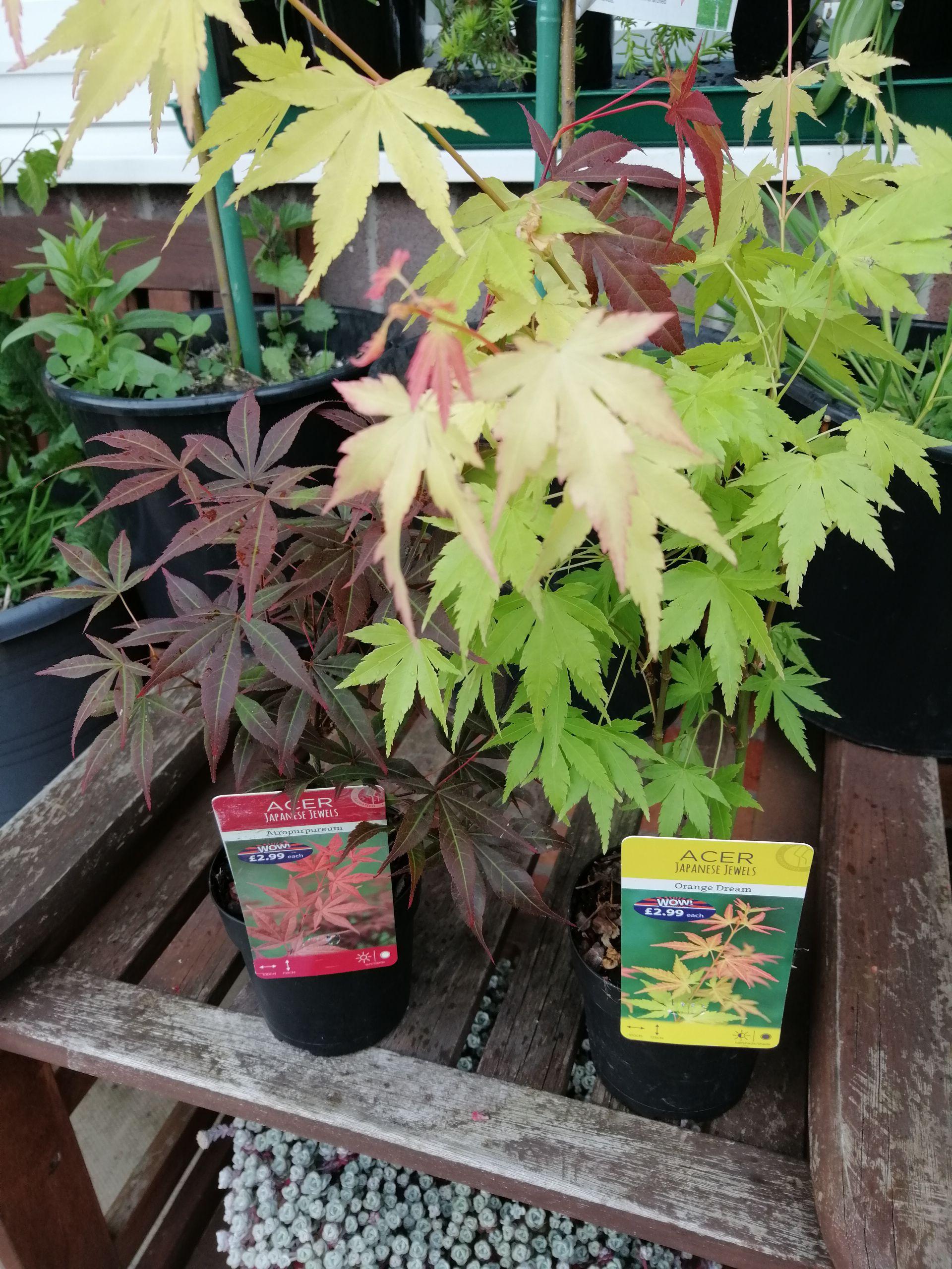 Acer Plant/Tree - £2.99 @ B&M