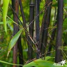 Bamboo clearance prices at Wyevale Garden Centres Woking - £20