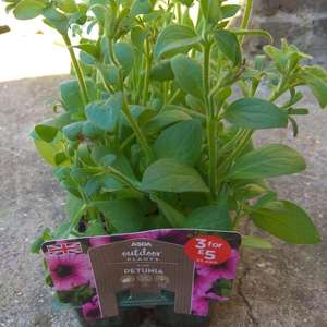 Petunia used to be £2 now it's scans at £1 at Asda in-store Strood