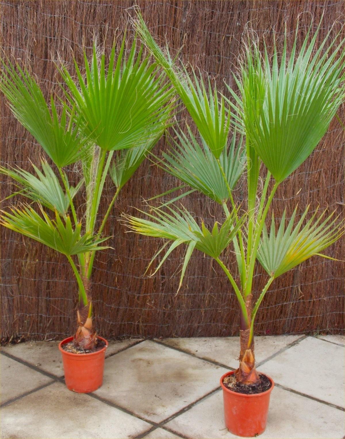 Washingtonia Robusta Palm Tree instore at B&M for £14.99