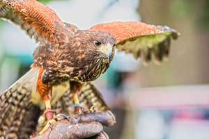 2 Hour Birds of Prey Experience at CJ's Birds of Prey £2 with code (Hertfordshire) @ Buyagift