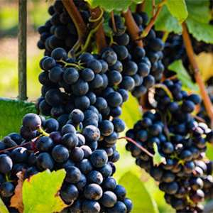 Wine Tour and Tutored Tasting at Woodchester Valley Vineyard £3pp @ Red letter days