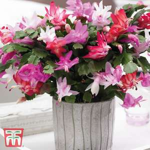 Tricolour christmas cactus £10.94 Delivered @ Thompson & Morgan